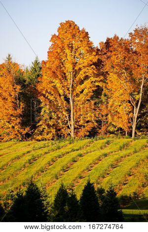 Vertical image of a Wisconsin field of young Christmas trees in the autumn.
