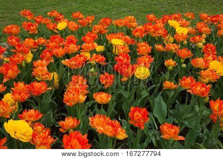 Many Amazing Double Petal Orange and Yellow Tulips Flowers Growing in Decorative Flowerbed in the City Outdoor Park Garden of Spring Time. Decoration Floral landscaping