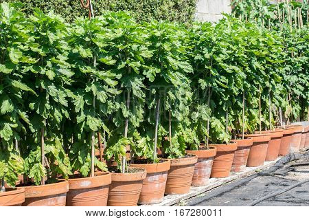 Growing chrysants for the chrisanthemum show: different varieties of flowers in the rows early stage