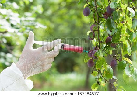 Non-organic fruit. Genetically modified plum. GM food.