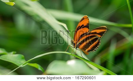 A Banded Orange Butterfly, dryadula phaetusa, at rest