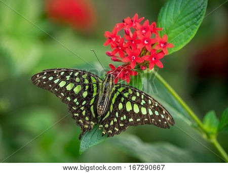 A Tailed Jay butterfly (Graphium Agamemnon) on red flower