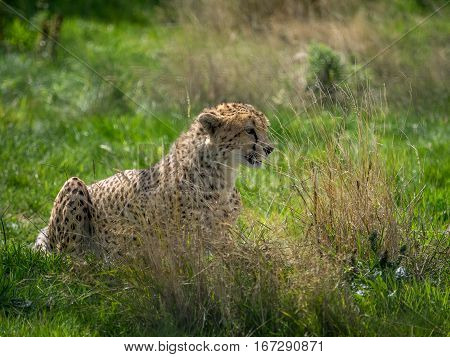 A Cheetah wildcat hiding in grass waiting to pounce