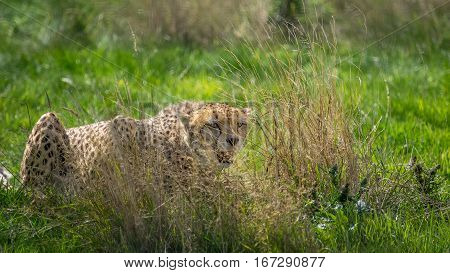 A hunting Cheetah wildcat waiting to pounce