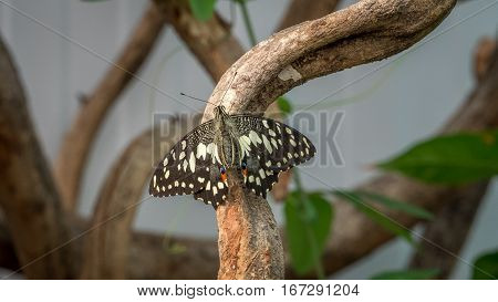 A common Lime Swallowtail butterfly on branch