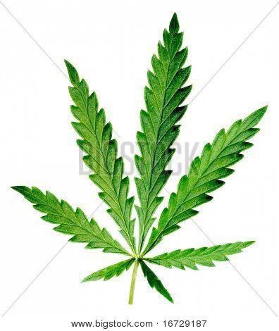 Leaf of hemp on white background (isolated).
