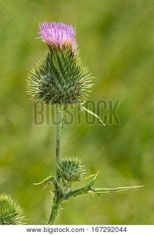 Macro of pink flower of Spear Thistle (Cirsium vulgare) over green meadow background