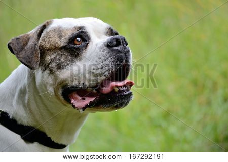 Portrait of an American Bulldogg - close up and depth of field