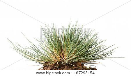 Small Tussock Of Wild Grass