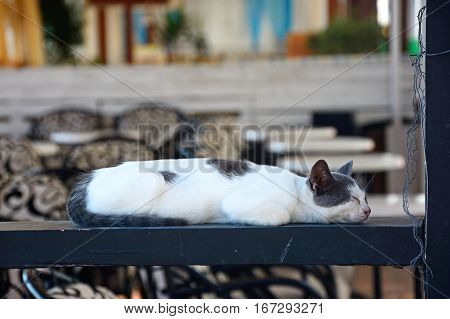 Grey and white Cretan cat sleeping on a wooden beam at a harbourside bar Hersonissos Crete Greece Europe.