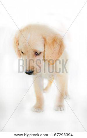 short depth of field shot of puppy on white