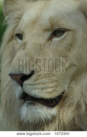Detail Of Lions Face - King Of Animal Kingdom