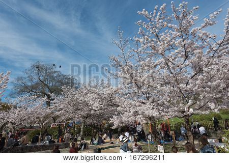 KYOTO JAPAN - April 5 2016 : People enjoy spring season by partaking Hanami festivals in Maruyama Park. The annual festivals coincide with the seasonal blooming of the cherry blossoms.