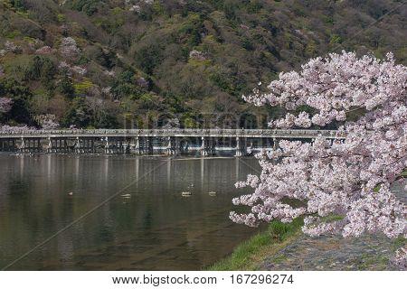 Cherry blossom Arashiyama in spring ,Kyoto, Japan
