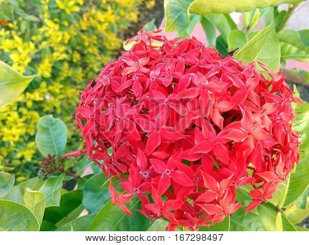 Closeup of Flowers of Ixora with four petals