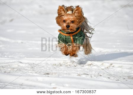 Beautiful Yorkie/Yorkshire Dog running in a snow