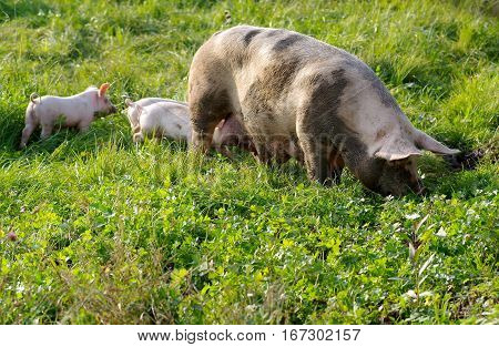 The pig with young piglets on green meadow