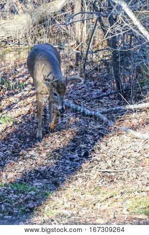 Buck white-tailed deer (odocoileus virginianus) following a does track during the rut.