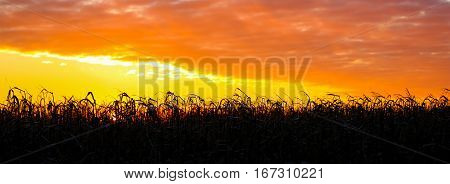 Panorama image of a field of corn at sunset.