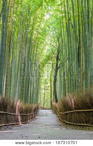 Bamboo forest in Arashiyama Kyoto, old capital of Japan