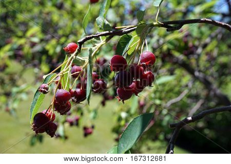 Clusters of ripe berries dangle from a serviceberry bush (also called Amelanchier, shadbush, shadwood, shadblow, sarvisberry, sarvis, juneberry, saskatoon, sugarplum, wild plum, wild pear, and chuckley pear) in Joliet, Illinois during June.