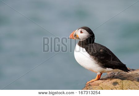 Isolated Puffin sitting on a rock on Farne Island Northumberland England with a natural seascape background.