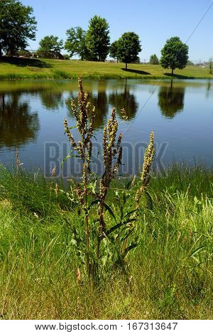 Curly dock (Rumex crispus), also called curled dock and yellow dock, grows next to a small lake in Joliet, Illinois during June.