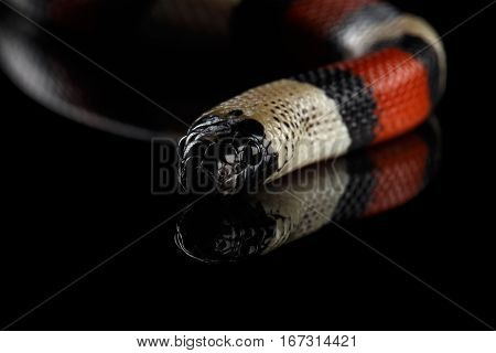 Close-up Campbell's milk snake, Lampropeltis triangulum campbelli, isolated on black background with reflection