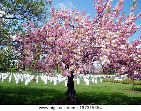 Sakura blossom tree on the Arlington National Cemetery in Arlington USA April 9 2010