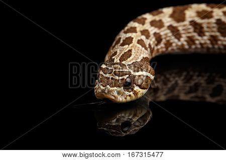 Closeup Western Hognose Snake, Heterodon nasicus isolated on black background with reflection