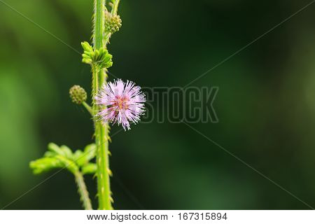 Nature Background With Sentitive Plant Flower