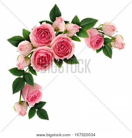 Pink rose flowers and buds circle arrangement isolated on white. Flat lay top view.