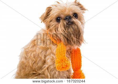 Dog breed Brussels Griffon orange scarf isolated on white
