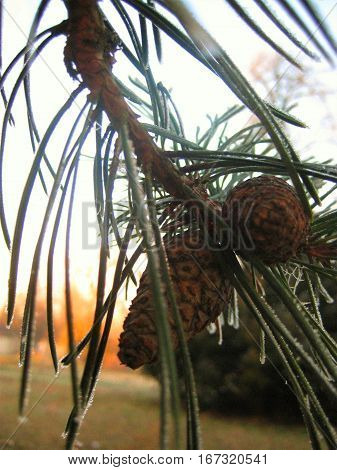 photo with a winter landscape background of icy fir needles fir-tree branches with snow icicles sparkling in the rays of the setting sun, brown cones, as the source for design, print, photo shop