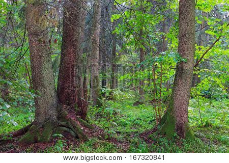 Summertime look of natural riparian stand rain after with three old alder trees in foreground, Bialowieza Forest, Poland,  Europe