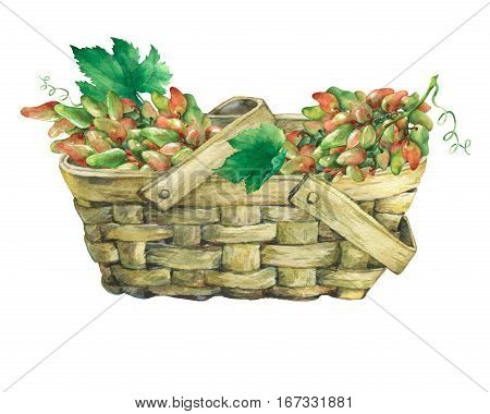 Basket wattled of veneer with fresh bunches of grapes. Hand drawn watercolor painting on white background.
