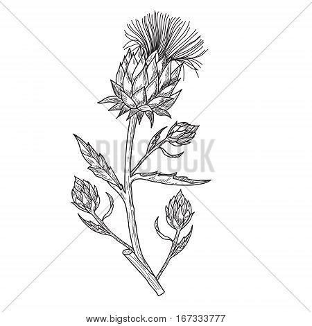 Vector hand drawn artichoke illustration on white background