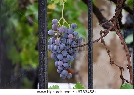 Bunch of grapes behind a fence in thje village of Arroyo Frio
