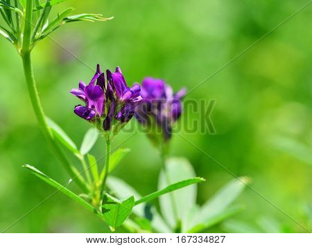 Isolated alfalfa flower. Alfalfa (Medicago sativa) also called lucerne is a perennial flowering plant in the pea family. Its cultivated as an important forage crop throughout the world.