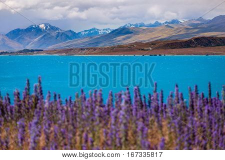 Landscape View Of Lake Tekapo And Mountains With Blooming Foreground