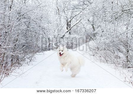 White Samoyed dog is happy and dancing in winter forest