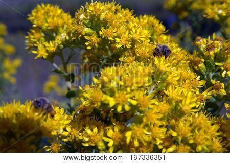 Honeybees pollinating a flower macro photography insects