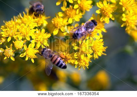 Honeybees on a flower pollinating macro photography