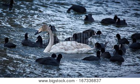 Whopper Swan And Eurasian Coots
