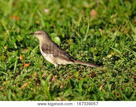 Alert Northern Mockingbird standing on the ground in grass