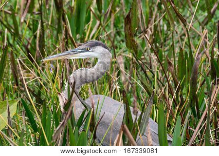 Great Blue Heron with neck in graceful s shaped curve in grassy green area of Florida Wetlands