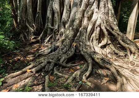 Big roots of ficus or banyan above the surface in jungle