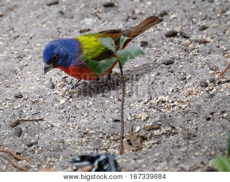 Colorful male Painted Bunting bird looking down at the ground