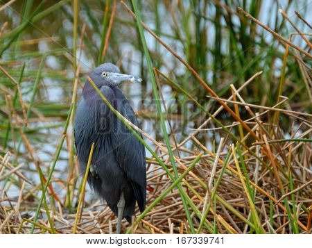 Little Blue Heron standing at edge of waterin Florida Wetlands