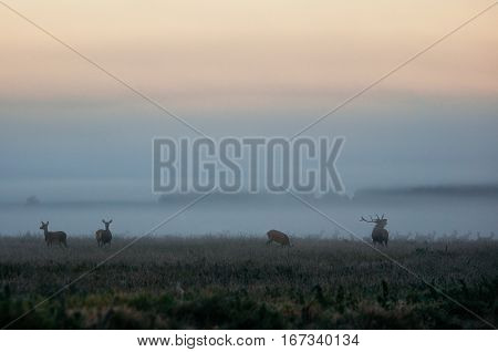 Buck stag lures female deer. Herd of red deer on the misty field in the morning during the rut in Belarus